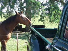 Chevy Eating Horse