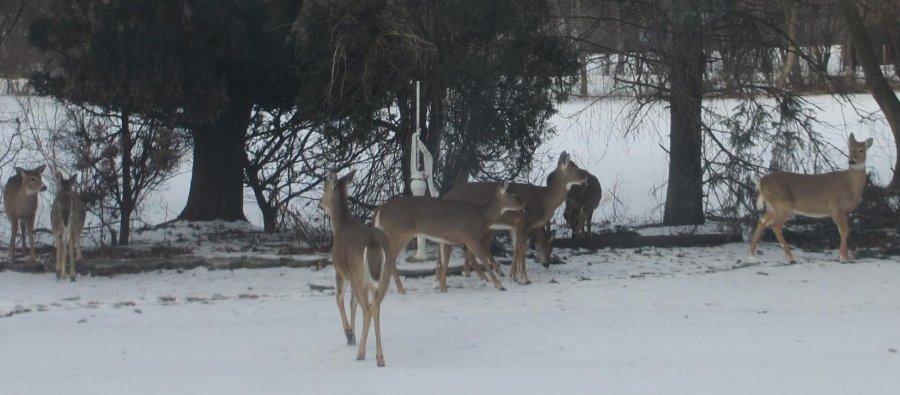 8 deer.jpg